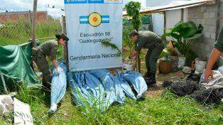 Secuestraron 19 plantas de marihuana en una casa de Urdinarrain