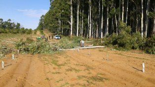 Desconocidos entraron a una chacra y desmontaron parte de un bosque de eucaliptus