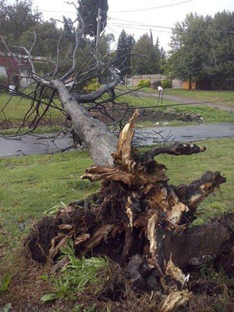 La tormenta derribó un árbol de gran tamaño en calle Balbín