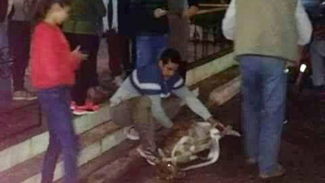 Sorpresa en Santa Elena por un bambi suelto en pleno centro