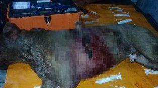 Apareció un pitbull con un cuchillo clavado en el lomo