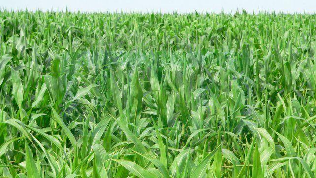 La superficie sembrada con maíz creció 42% respecto de la campaña anterior