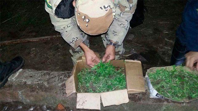 Secuestraron más de 3.000 plantines de marihuana en un campo de Ceibas