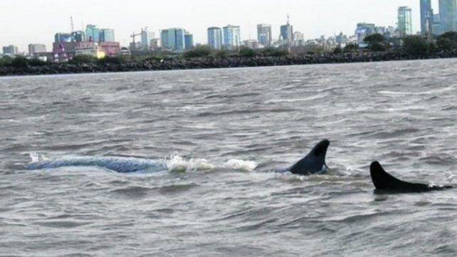 Murió la ballena que estaba varada en Dock Sud