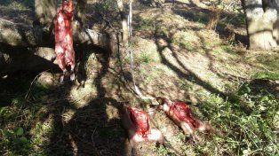 Faenados. Los carpinchos los carnearon y los tenían listo para llevarlos.