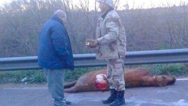 Chocaron un ternero muerto en plena ruta 14