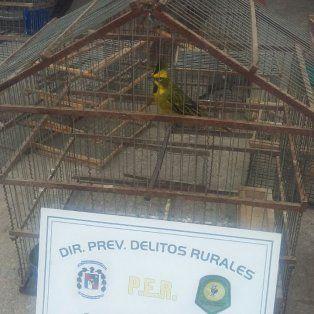 Buen negocio. Un cardenal amarillo, es muy requerido en el mercado ilegal.