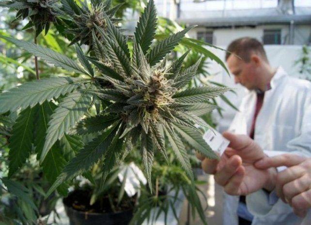 Durante el Primer Congreso Argentino de Cannabis y Salud debatirán acerca de políticas públicas que garanticen a la población el acceso y uso terapéutico de la marihuana. (Imagen Ilustrativa).