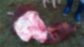 aparecio cuatrereada una ternera en una quinta de feliciano