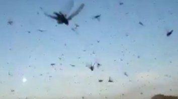 impactantes videos de una invasion de langostas en chaco y santiago del estero