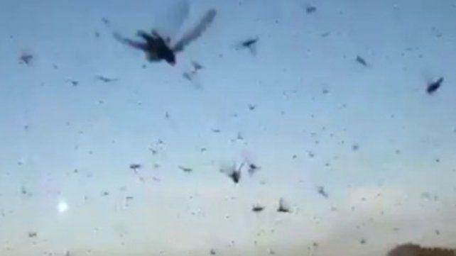Impactantes videos de una invasión de langostas en Chaco y Santiago del Estero