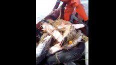 desopilante pedido a las autoridades que controlan la pesca del surubi en el rio parana