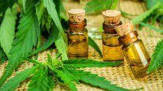 la marihuana para producir aceite de cannabis podria llegar de uruguay o canada