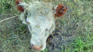 Le robaron un novillo y lo carnearon