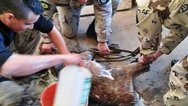 Un ciervo cayó en una fosa de una estación de servicios