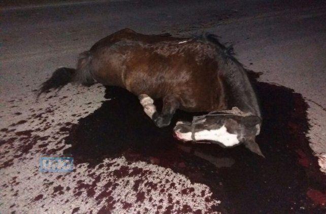 Calculan que el caballo era de un campo cercano porque tenía puesto el bozal.