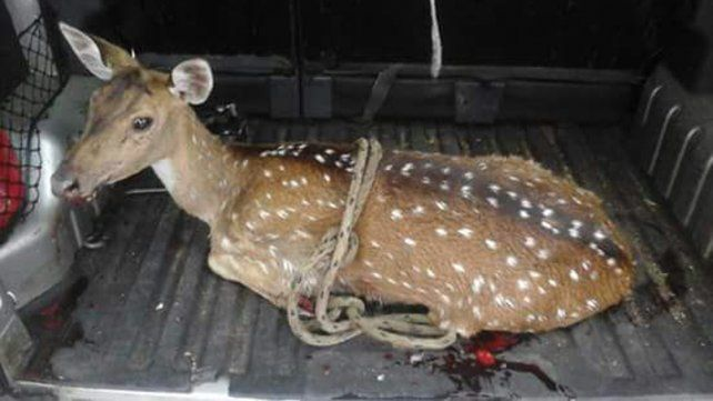 Rescataron un ciervo que deambulaba por el centro de Concordia