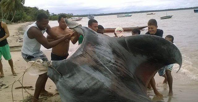 Pescadores brasileños encontraron una raya de 500 kilos