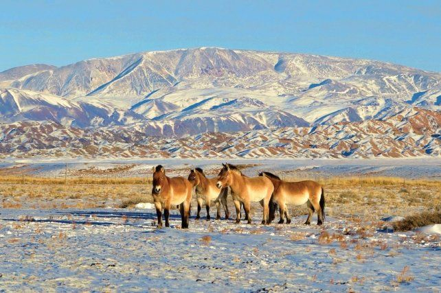 Se acostumbraron a las extremas condicones climáticas del desierto de Gobi.International Takhi Group.