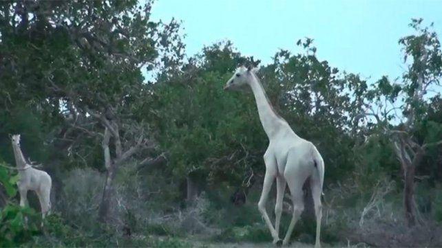 Captaron a dos jirafas blancas en Kenya