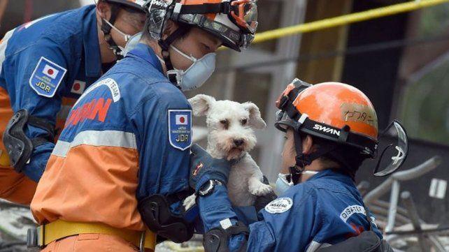 El grupo de expertos japoneses lograron rescatar a un perro raza Schnauzer del edificio en ruinas