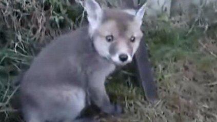 Liberó a un pequeño zorro que luego le dio las gracias