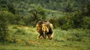 Insólito: en Kenia culpan al turismo gay por la homosexualidad de los leones