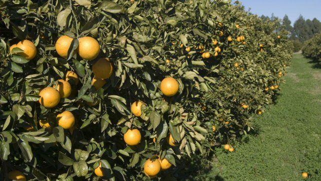 Retroceso. La citricultura es una de las economías regionales más importantes en la provincia