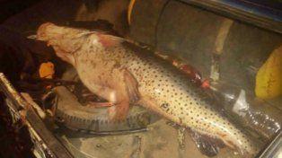 25 kilitos. El surubí había sido pescado un rato antes en el río Uruguay.