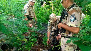 Encontraron una plantación de marihuana en Santa Elena