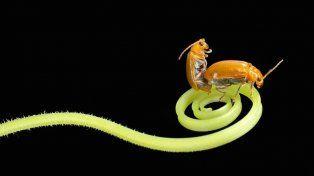 El misterioso pene del escarabajo que intriga y llena de dudas a los científicos