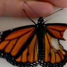 Una modista logró que una mariposa vuele al reconstruirle un ala