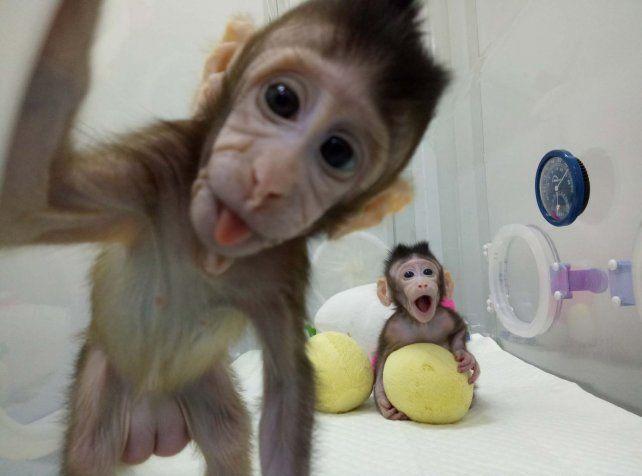 China clonó los primeros monos con la técnica de la oveja Dolly