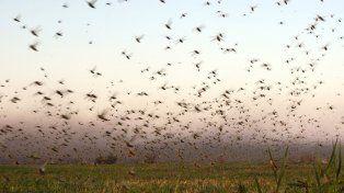 Por ahora el riesgo de que llegue la plaga de la langosta a Entre Ríos es bajo