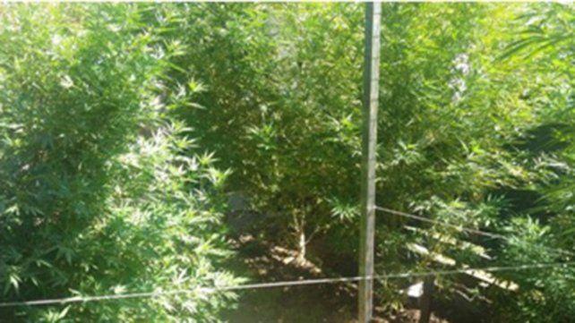 Hallaron 10 plantas de marihuana en una vivienda
