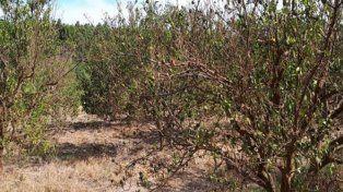 La alarmante sequía deja en un grave estado al sector citrícola de la provincia