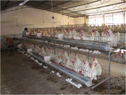Selección. Las ponedoras sobreviven en jaula, los machos son descartados.