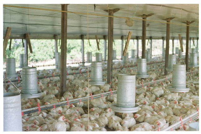 Granjas. Las condiciones en las que trabajan deterioran las instalaciones y la calidad del animal que luego deben entregar.