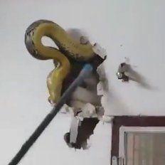 Tremendo susto: Escuchó ruidos en la pared del living y encontró una pitón de 4,5 metros