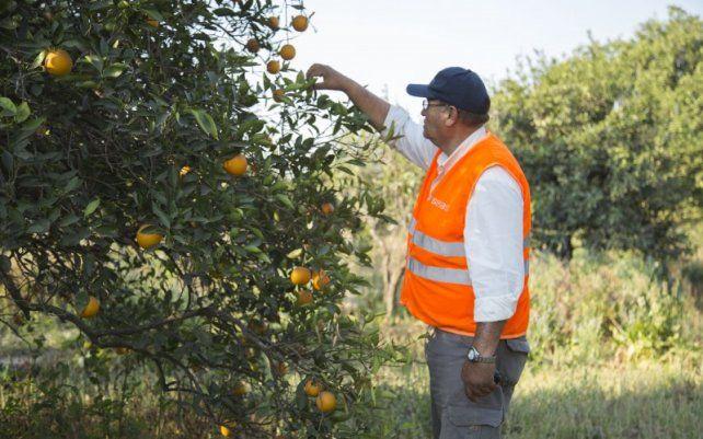 Análisis. Los casos positivos de la enfermedad detectados ahora por Senasa son por muestras tomadas en plantaciones cercanas a Federación.