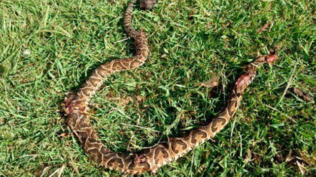 Peligrosa serpiente. Las yarará están llegando más de la cuenta por las lluvias e inundaciones.