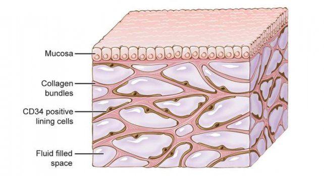 <i>El intersticio se ubica debajo de la mucosa de la piel. Imagen: Wikipedia</i>