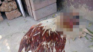 Una gallina sobrevive sin cabeza