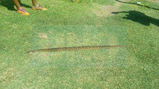 Hembra. Se indicó que la serpiente siempre anda acompañada por otra