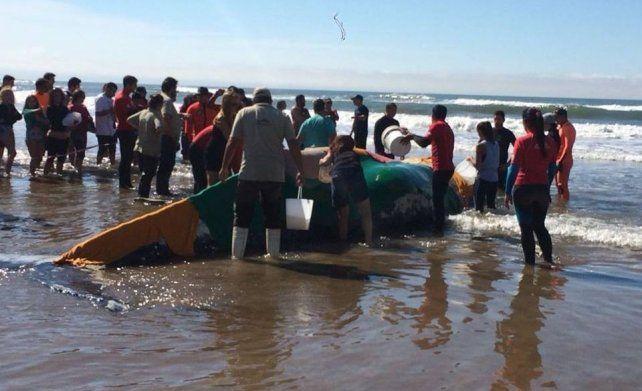 Murió la ballena varada en Punta Mogotes