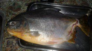 Palometa gigante causa asombro y temor en pescadores de la Toma Nueva