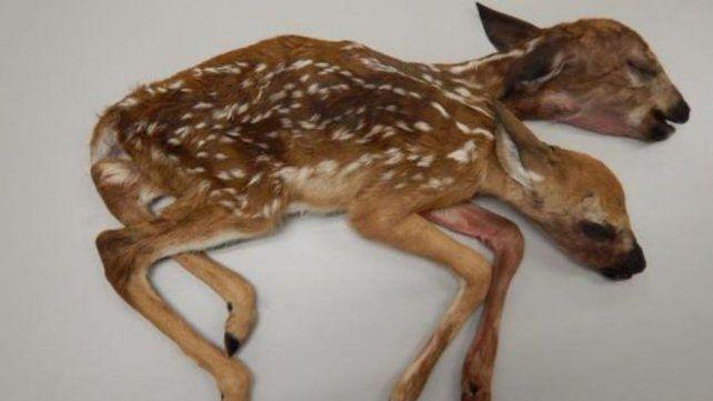 Nació bambi con dos cabezas