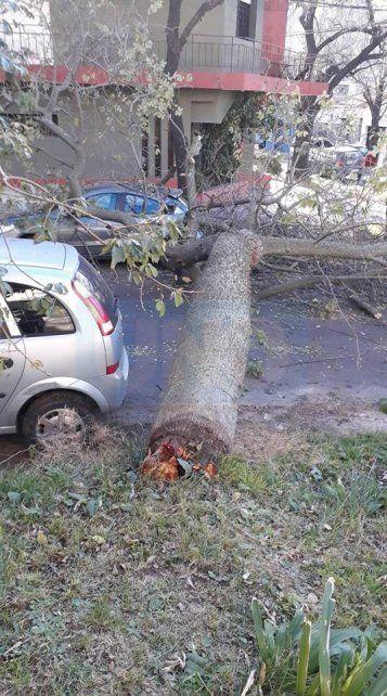 <b>Putrefacto</b>. El árbol pesado aplastó un auto en la caída.