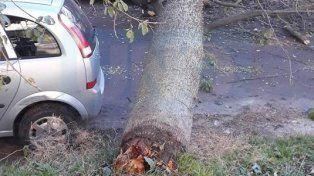 Putrefacto. El árbol pesado aplastó un auto en la caída.