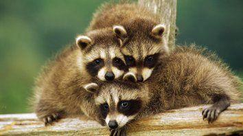 instinto maternal: la feroz reaccion de una mapache contra un gato montes por sus crias